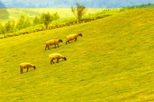 7月 士別の「羊と雲の丘」-北海道の夏-の写真素材 [FYI01779786]