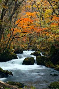 10月 阿修羅の流れ 紅葉の奥入瀬渓流 東北の秋の写真素材 [FYI01779796]