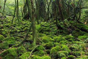 6月初夏,苔むす原生林ー屋久島の白谷雲水峡の写真素材 [FYI01779846]
