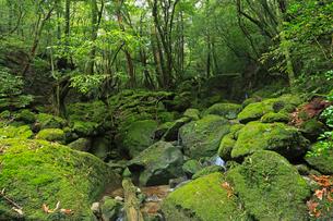 6月初夏,苔むす原生林ー屋久島の白谷雲水峡の写真素材 [FYI01779901]