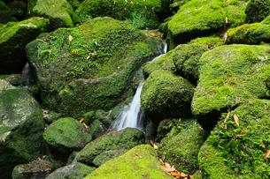 6月初夏,苔むす原生林ー屋久島の白谷雲水峡の写真素材 [FYI01779927]