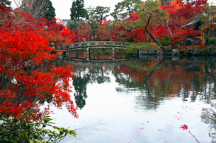 11月 紅葉の永観堂 京都の秋景色の写真素材 [FYI01779930]
