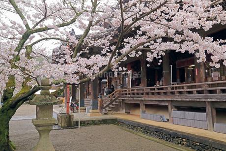 4月 桜の粉河寺 -紀州のサクラ-の写真素材 [FYI01779938]