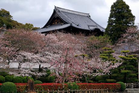 4月 桜の粉河寺 -紀州のサクラ-の写真素材 [FYI01780012]