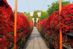 5月 満開の長岡天満宮のキリシマツツジの写真素材 [FYI01780036]