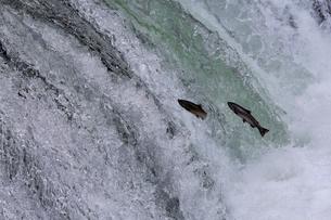 7月 さくらの滝を遡上するサクラマスの写真素材 [FYI01780059]