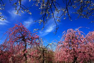 3月 いなべ市農業公園の梅林の写真素材 [FYI01780164]