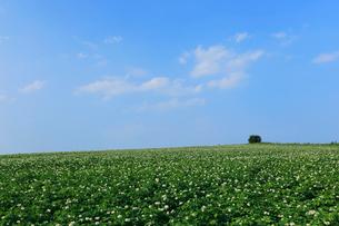北海道能取湖周辺のジャガイモ畑の写真素材 [FYI01780173]
