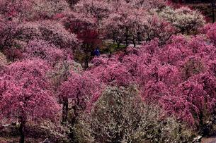3月 いなべ市農業公園の梅林の写真素材 [FYI01780175]