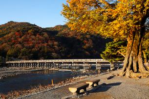 11月秋 紅葉の渡月橋 嵐山の朝の写真素材 [FYI01780205]