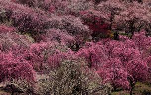 3月 いなべ市農業公園の梅林の写真素材 [FYI01780217]
