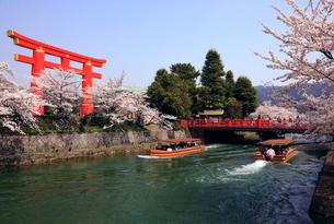3月 琵琶湖疏水の桜並木の写真素材 [FYI01780242]