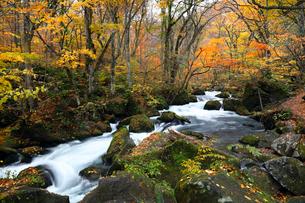 10月 阿修羅の流れ 紅葉の奥入瀬渓流 東北の秋の写真素材 [FYI01780261]