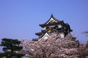 4月 桜咲く彦根城天守閣の写真素材 [FYI01780286]