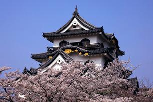 4月 桜咲く彦根城天守閣の写真素材 [FYI01780294]