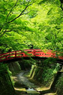 5月 新緑の北野天満宮のもみじ苑の写真素材 [FYI01780306]