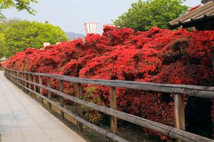 5月 満開の長岡天満宮のキリシマツツジの写真素材 [FYI01780328]