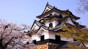 4月 桜咲く彦根城天守閣の写真素材 [FYI01780343]