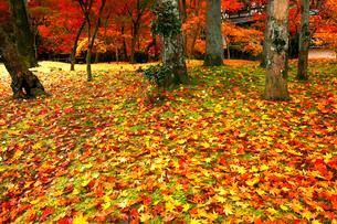 11月 紅葉の永観堂 京都の秋景色の写真素材 [FYI01780362]