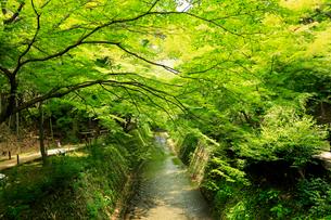 5月 新緑の北野天満宮のもみじ苑の写真素材 [FYI01780367]