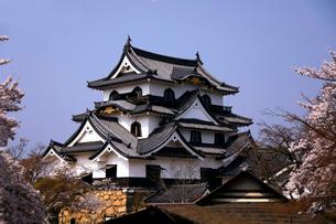 4月 桜咲く彦根城天守閣の写真素材 [FYI01780375]