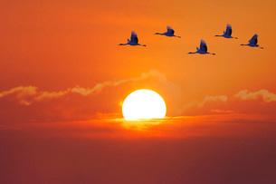 日の出とタンチョウの写真素材 [FYI01780408]