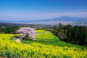 白木峰高原の桜と菜の花の写真素材 [FYI01780452]