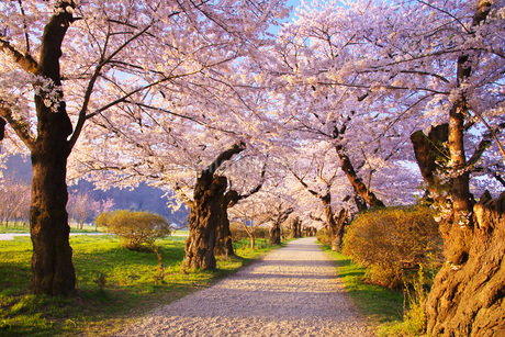 北上展勝地の桜の写真素材 [FYI01780457]