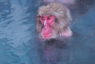 函館市熱帯植物園のニホンザルの写真素材 [FYI01780465]