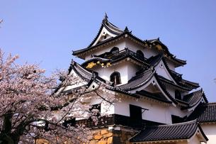 4月 桜咲く彦根城天守閣の写真素材 [FYI01780485]