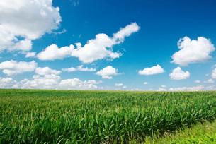 トウモロコシ畑と丘の写真素材 [FYI01780515]