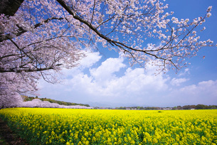 西都原古墳群の菜の花と桜の写真素材 [FYI01780520]
