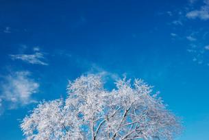 樹氷のはるにれの木の写真素材 [FYI01780525]