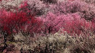 3月 いなべ市農業公園の梅林の写真素材 [FYI01780565]