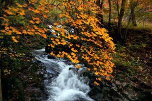10月 せせらぎ街道の紅葉 森林公園から大倉滝への写真素材 [FYI01780570]