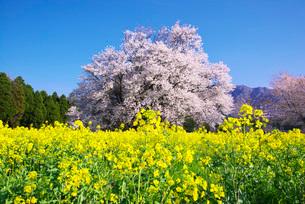 一心行の大桜と菜の花の写真素材 [FYI01780574]