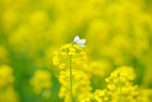 菜の花とチョウの写真素材 [FYI01780580]