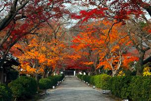 11月 紅葉の西教寺  近江の名刹の写真素材 [FYI01780592]