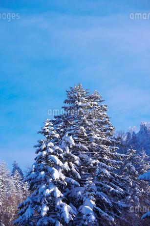 冬の木々の写真素材 [FYI01780613]