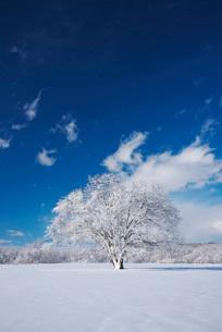 樹氷のはるにれの木の写真素材 [FYI01780635]