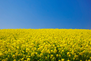 あわじ花さじきの菜の花の写真素材 [FYI01780670]