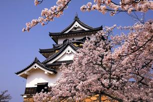 4月 桜咲く彦根城天守閣の写真素材 [FYI01780692]