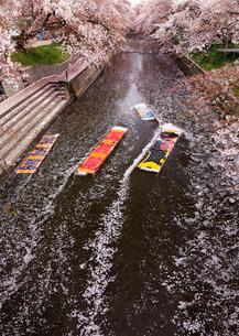 4月桜 岩倉の五条川「のんぼり洗い」の写真素材 [FYI01780742]