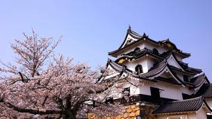 4月 桜咲く彦根城天守閣の写真素材 [FYI01780772]