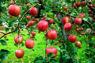 10月 青森のリンゴの写真素材 [FYI01780801]