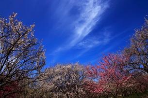 3月 いなべ市農業公園の梅林の写真素材 [FYI01780813]