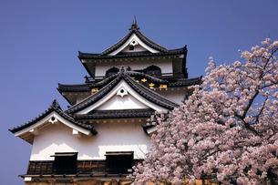4月 桜咲く彦根城天守閣の写真素材 [FYI01780829]