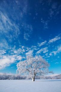 樹氷のはるにれの木の写真素材 [FYI01780831]