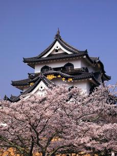 4月 桜咲く彦根城天守閣の写真素材 [FYI01780847]