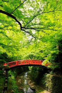 5月 新緑の北野天満宮のもみじ苑の写真素材 [FYI01780853]